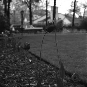 Vivian Maier, Highland Park, IL (Three Tulips), 1961
