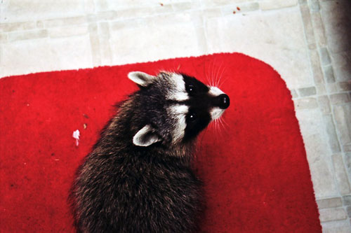 Annie Marie Musselman, Little racoon on bathroom rug , 2007 Chromogenic Print