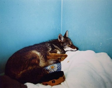 Annie Marie Musselman, Coyote with Mange , 2005 Chromogenic Print