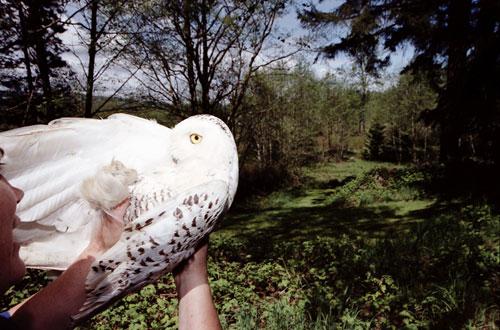 Annie Marie Musselman, Snowy Owl Chromogenic Print
