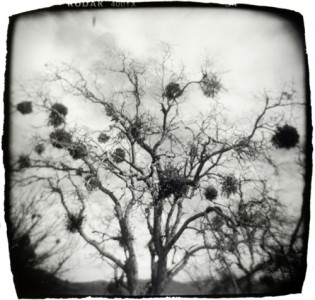 Michelle Bates, Tree with Nests, Gelatin Silver Print