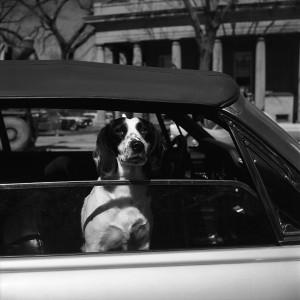 Vivian Maier, Wilmette, IL (Dog in Car), 1968