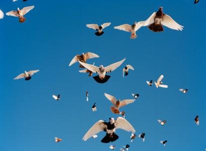 Aaron Wojack, Stock Pigeons in Flight, 2011