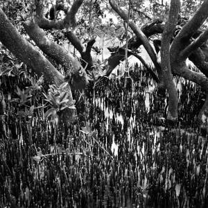 Benjamin Dimmitt, Black Mangrove Trees & Roots Mullet Key, FL