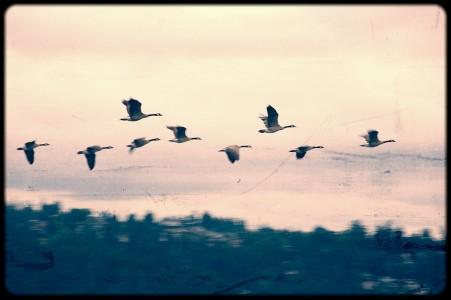 Iris Teves Dumuk, Geese 6-47 PM PDT