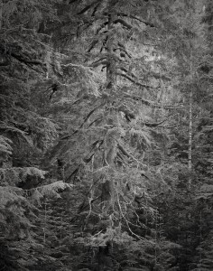 Jeff Krewson, Tree of the Day