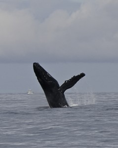 McClain Harriet Breaching Humpback 959am
