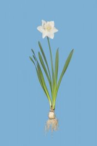 William Rugen, Daffodil