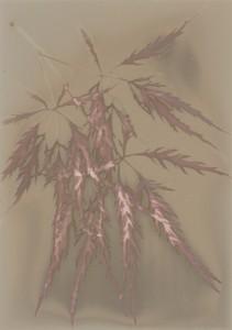 Jane Patterson, Japanese Maple, lumen print