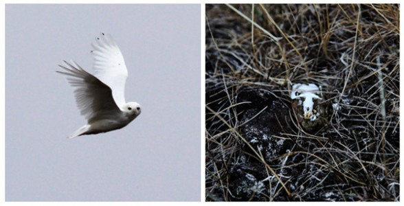 Christina Seely / Diptych – Indicator Species Relationship: Snowy Owl + Lemmings