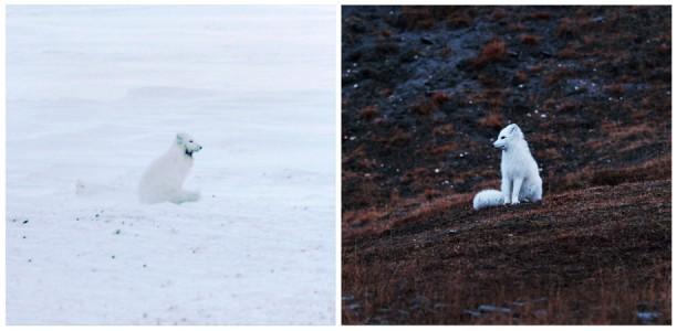 Christina Seely / Diptych - Species Impact: Arctic Fox